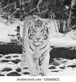 White tiger among snowflakes. Black and white image.