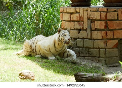 Bali Tiger Images Stock Photos Vectors Shutterstock