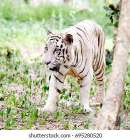 White Tiger at Bannerghatta Biological Park, Bengaluru.