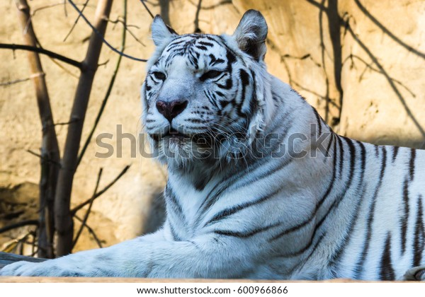 White tiger — Bengal tiger species with a congenital mutation. The mutation leads to a fully white color of the tiger with black and brown stripes on white fur and blue eyes.