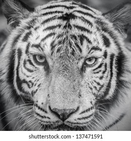 white tiger in black and white