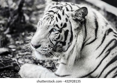 white tiger with black strip pattern