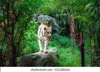 White tiger (bleached tiger) in the forest. Forceful white tiger walking on the rock with green area look like jungle forest background in the Zoo, Bangkok, Thailand