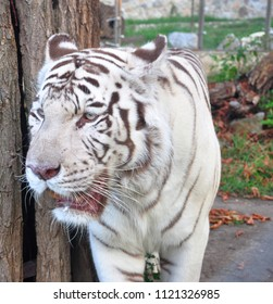 The white tiger or bleached tiger is a pigmentation variant of the Bengal tiger