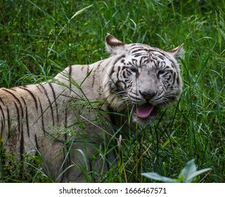white tiger or bleached tiger, is a pigmentation variant of the Bengal tiger, which is reported in the wild from time to time in the Indian states of Madhya Pradesh, Assam, West Bengal, Bihar