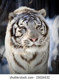 White tiger. Close picture made in winter time