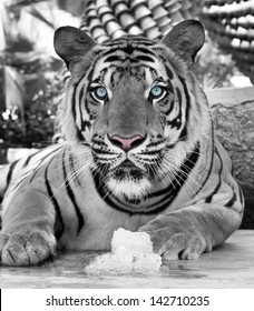 White tiger cooling with ice.