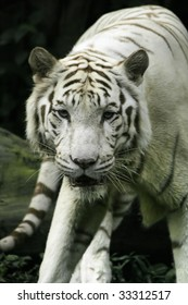 A white tiger in a defensive stance.