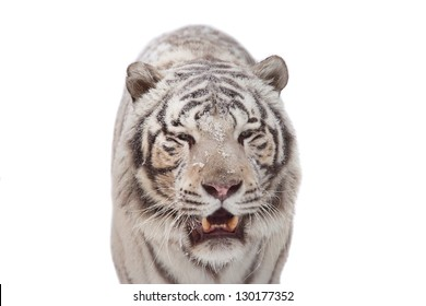 White tiger front portrait isolated