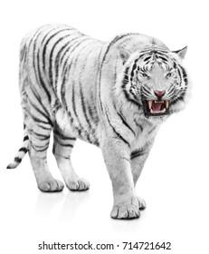 White tiger fury