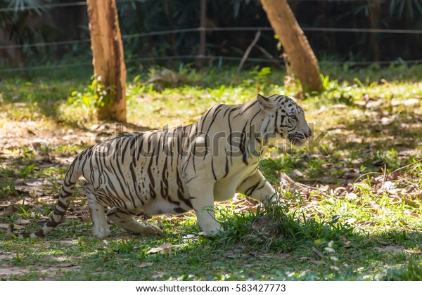 White Tiger has his step like a King, he also has his eyes like predator ... ready to fight over his own pride!