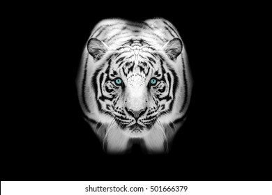 White Tiger Isolated with Blue Eyes