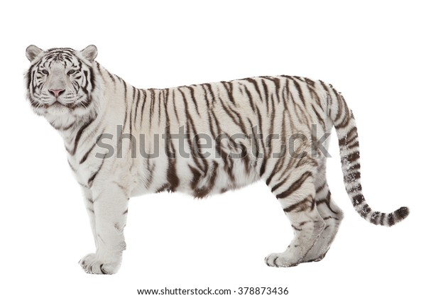 White tiger (isolated on white)