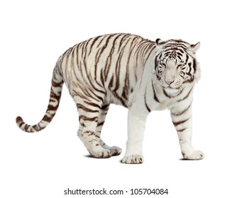 white tiger. Isolated  over white background with shade