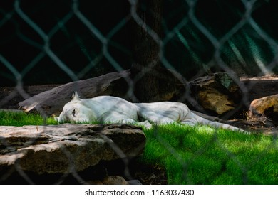 A white tiger laying in the shade taking a nap.