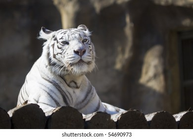 A white tiger in a Moscow zoo