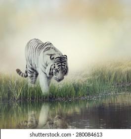 White Tiger Near A Pond