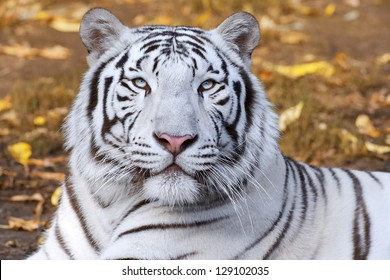 White tiger on autumn background.