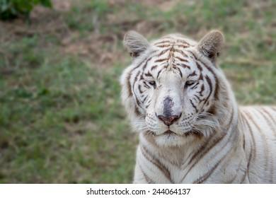 White tiger on green grass.