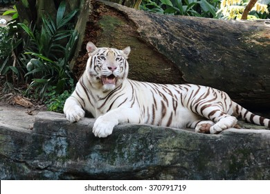 White tiger opening its mouth staring at the far side