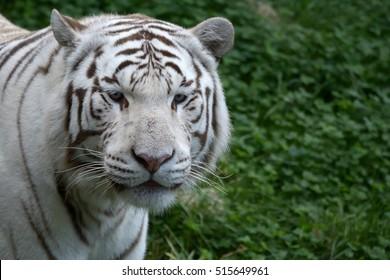 White tiger (Panther tigris), Bengal tiger variation portrait Pairi Daiza Belgium