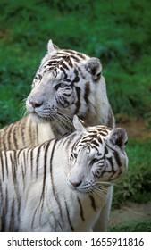 White Tiger, panthera tigris, Adults