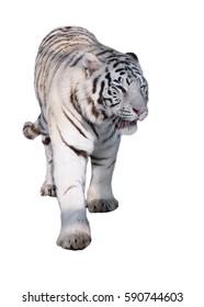White tiger Panthera tigris bengalensis walking isolated at white