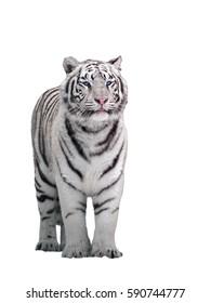 White tiger Panthera tigris bengalensis standing isolated on white