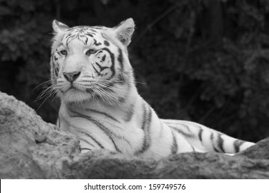 white tiger relaxing on rocks in black and white
