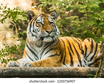 The white tiger is a solitary animal as this allows this large predator to sneak up on prey more effectively in the dense jungle.