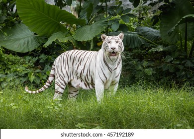 White tiger standing  in a green garden. White tiger in the zoo.