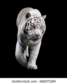 White tiger standing and looking down isolated at black