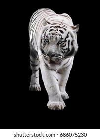 White tiger standing and looking to the left isolated at black