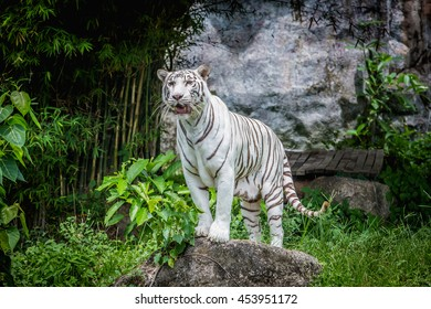 White tiger standing on the rock.White tiger in the zoo.