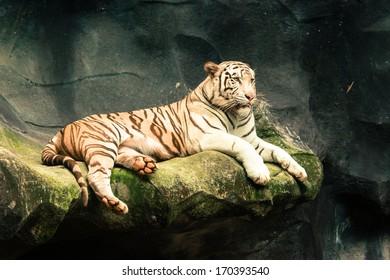 white tiger in thailand