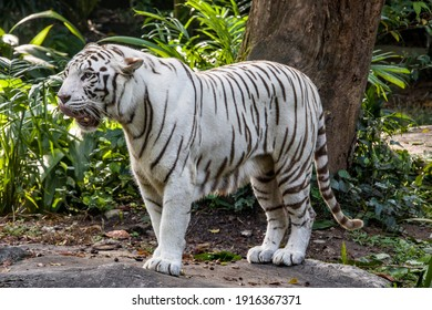 The white tiger with tongue out, it is a pigmentation variant of the Bengal tiger.  Such a tiger has the black stripes typical of the Bengal tiger, but carries a white or near-white coat.