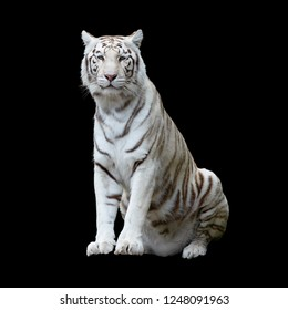 White tiger, a variant of the Bengal tiger, isolated and cutout with clippling path against a black background