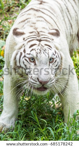 White Tiger Vertical Image Good Mobile Stock Photo Edit Now