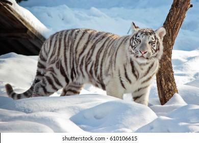 White tiger walks in winter. The tiger walks through deep snow