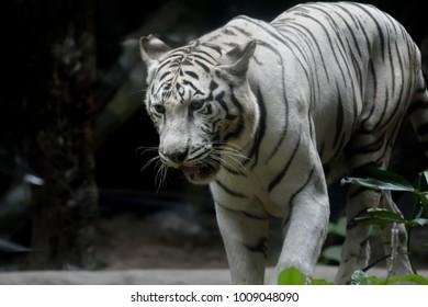 White tiger in the wild