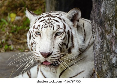 white tigers with blurry forest background,select focus with shallow depth of field
