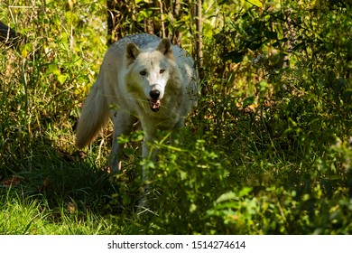 The White Timber Wolf (Canis lupus), also known as the gray wolf , natural scene from natural environment in north America.