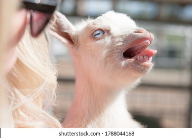 White Tiny Baby Goat Held By blonde woman with sunglasses and Talking making noises with mouth open and tongue out showing teeth blue eyes looking to right