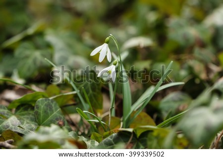 White tiny flowers among ivy leaves stock photo edit now 399339502 white tiny flowers among ivy leaves mightylinksfo