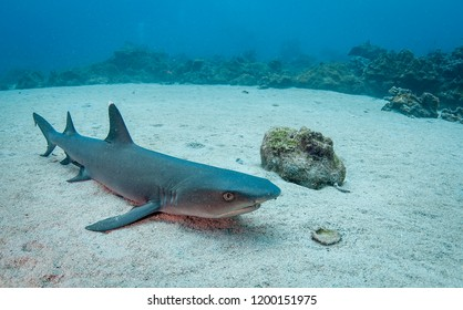 White tip reef shark resting on the ocean floor, Cocos Island, Costa Rica.
