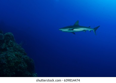 A white tip reef shark swimming through the deep blue tropical water in Grand Cayman. This predator is feared by many but is actually little harm to humans. Shark stocks are in decline