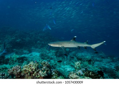 white tip reef shark swims close on  coral reef