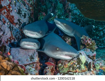 White tip reef sharks resting, Revillagigedo Islands, Roca Partida.