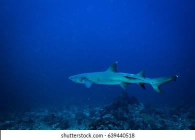 White tip shark in Komodo national park