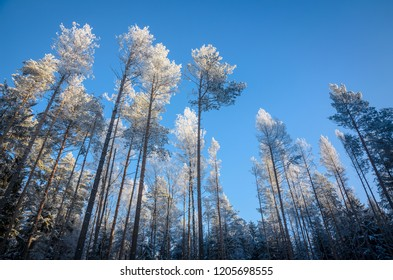 white tops of frosted forest pines